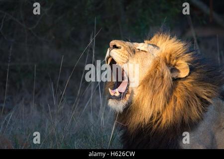 Lion du bâillement, grandes dents. Banque D'Images