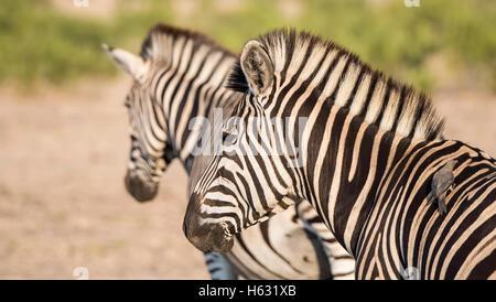 Portrait d'un sauvage le zèbre de Burchell (Equus quagga burchellii) Banque D'Images