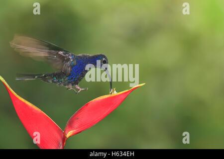 Campyloptère violet mâle Hummingbird (Campylopterus hemileucurus) se nourrissant de graines heliconia. Cloudforest, Cascade Gardens, le Costa Rica.