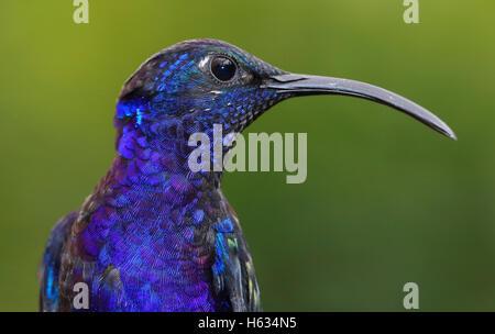 Campyloptère violet hummingbird (Campylopterus hemileucurus) close up. Costa Rica. Janvier 2013.