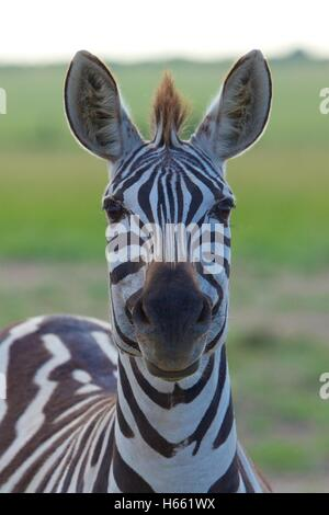 Gros plan sur zebra Funny Safari dans le Masai Mara, Kenya. Banque D'Images
