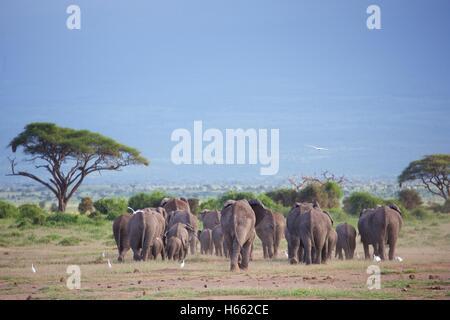 Sur safari dans le Parc national Amboseli, au Kenya. Banque D'Images