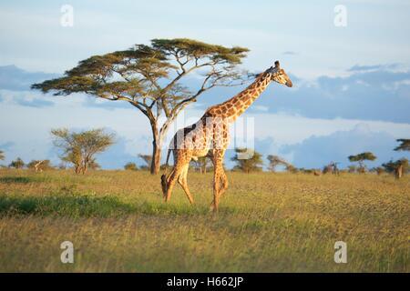 Affichage d'état sauvage girafe en safari dans le Parc National du Serengeti, Tanzanie. Banque D'Images