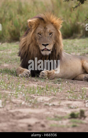 Grand mâle solitaire de l'Afrique à crinière lion reposant Panthera leo Kenya Masai Mara Banque D'Images