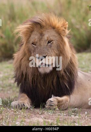 Close up grand mâle solitaire African Lion à crinière reposant le Masai Mara au Kenya Banque D'Images