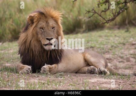 Homme solitaire et la crinière d'un grand lion d'Afrique Kenya Masai Mara au repos Banque D'Images