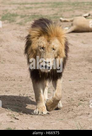 Homme solitaire et la crinière d'un grand lion d'Afrique marcher le Masai Mara au Kenya Banque D'Images