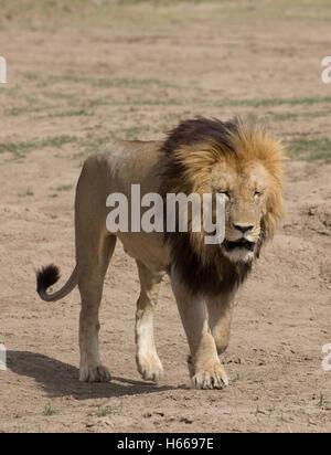 Homme solitaire et la crinière d'un grand lion d'Afrique walking Panthera leo Kenya Masai Mara Banque D'Images