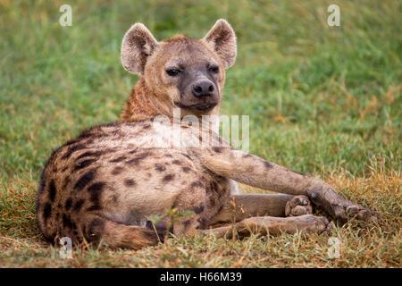 Femme hyène tachetée Crocuta crocuta hyène ou rire, fixant l'extérieur de la tanière, Laikipia Kenya Afrique Banque D'Images