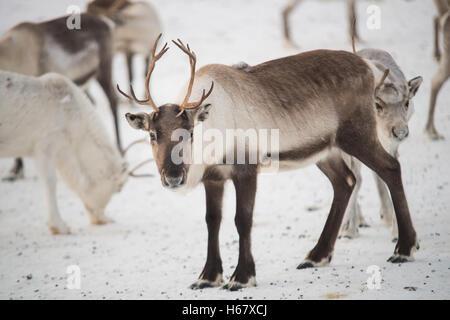 Groupe sur rennes dans les montagnes de Norvège