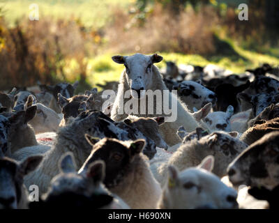 Une brebis se démarque des autres par l'augmentation du troupeau de moutons au-dessus de la vapeur dans la lumière Banque D'Images