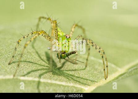 Green Spider Lynx, Peucetia viridans, avec les proies