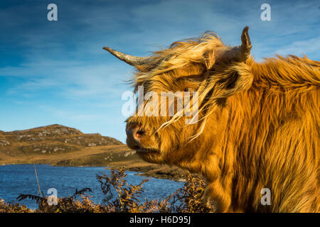 Vache Highland avec petit loch en arrière-plan. Banque D'Images
