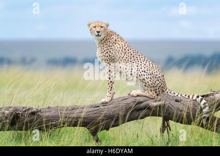 Cheetah (Acinonix jubatus) assis sur un arbre tombé, looking at camera, Maasai Mara National Reserve, Kenya Banque D'Images