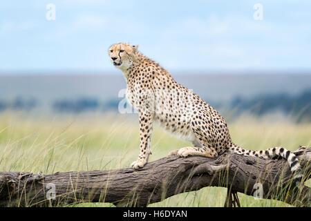 Cheetah (Acinonix jubatus) assis sur un arbre tombé, Maasai Mara National Reserve, Kenya Banque D'Images