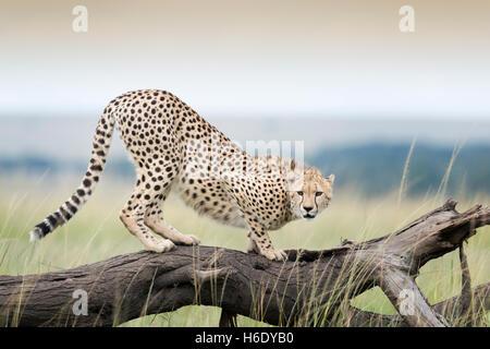 Cheetah (Acinonix jubatus) sur l'arbre tombé, Maasai Mara National Reserve, Kenya Banque D'Images