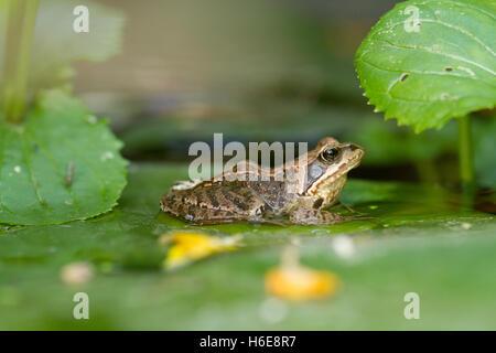 Politique européenne de grenouille sur un nénuphar Banque D'Images