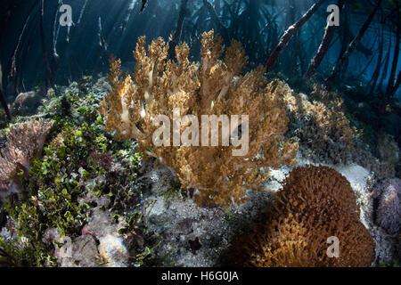 """Les coraux croissent sur le bord d'une eau """"bleue"""" de la mangrove à Raja Ampat, en Indonésie. Les mangroves servent Banque D'Images"""