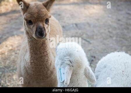 Alpaca (Vicugna pacos) dans une ferme en Nouvelle Galles du Sud, Australie Banque D'Images