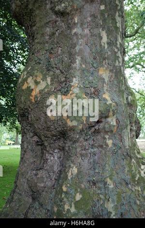 L'écorce et le tronc d'un arbre plan de Londres, Platanus x acerifolia, dans un parc de Londres, juin Banque D'Images
