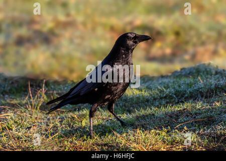 Crow Corvus corone Banque D'Images