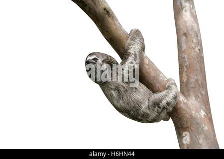 Brown-throated trois-toed sloth, Bradypus variegatus, jeune, Brésil Banque D'Images