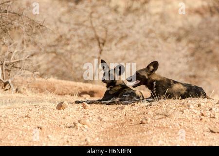 Deux d'Afrique ou peint des chiens sauvages, Lycaon pictus, couché ensemble dans la Réserve de Buffalo Springs, Banque D'Images