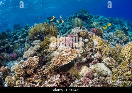 Haut de coral reef avec Red Sea bannerfish [Heniochus intermedius] et papillons de la Mer Rouge [Chaetodon fasciatus]. Banque D'Images