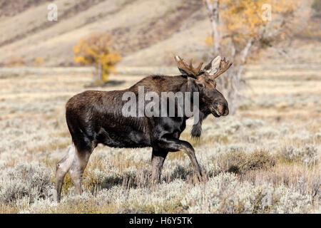 Orignal mâle - mâle adulte Shiras - Orignal Alces alces
