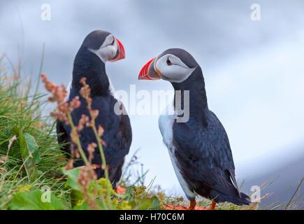 Un groupe de macareux macareux (oiseaux) en Islande. Banque D'Images