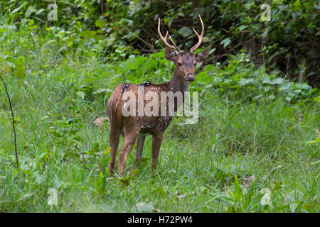 Spotted Deer, (Axis axis) Banque D'Images