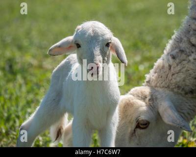 Agneau nouveau-né avec sa mère dans un pré Banque D'Images