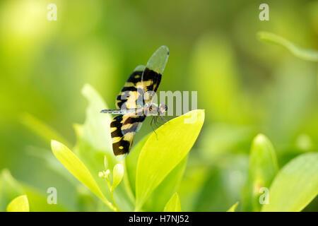 Libellule , Flutterer Rhyothemis variegata panaché, assis, sur le vert des feuilles. Beau dragon fly dans l'habitat de la nature