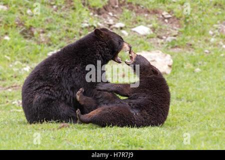 Deux ours noirs jouant les uns avec les autres au Canada Banque D'Images