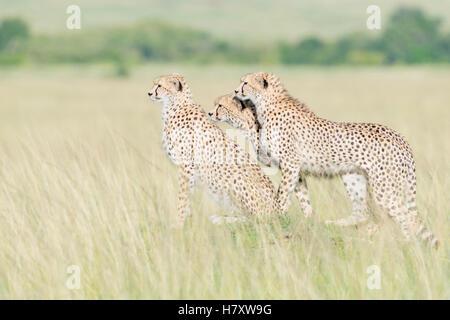 Trois Cheetah (Acinonix jubatus) Comité permanent sur l'affût à Savanna, Maasai Mara National Reserve, Kenya Banque D'Images