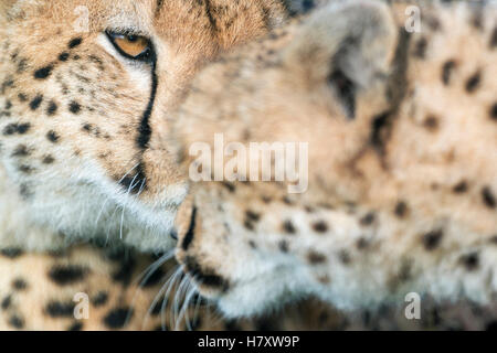 Cheetah (Acinonix jubatus) portrait, salut, Close up, Maasai Mara National Reserve, Kenya Banque D'Images