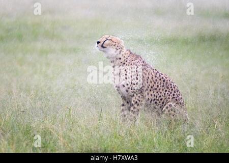 Cheetah (Acinonix jubatus) assis sur les précipitations au cours de la savane humide, fourrure, Maasai Mara National Banque D'Images