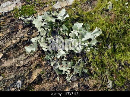 Olympus - Lichen reticulatum croissant sur fallen log Banque D'Images