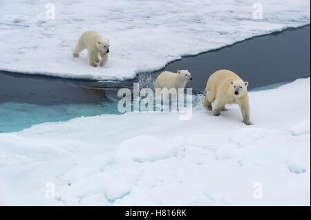 Mère ours polaire (Ursus maritimus) avec deux oursons natation et sautant par-dessus un banc de glace, l'archipel du Svalbard