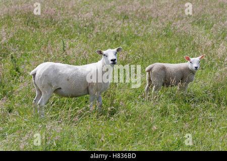 Moutons dans un champ d'herbe Banque D'Images
