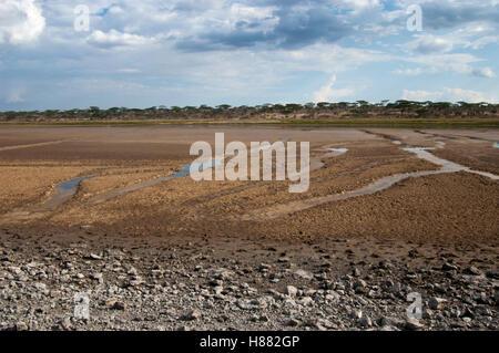Hippopotame (Hippopotamus amphibius) les voies dans la boue du lac Masek, Ngorongoro, en Tanzanie, Ndutu Banque D'Images