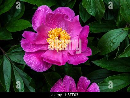 Fleur de pivoine rose Close up avec gouttes de pluie, New Jersey, USA, pluie en gros plan le jardin Banque D'Images