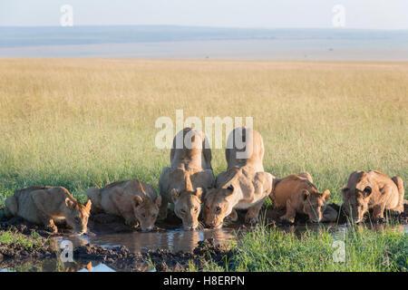 Lion (Panthera leo) fierté de boire à un point d'eau dans le Masai Mara National Reserve, Kenya