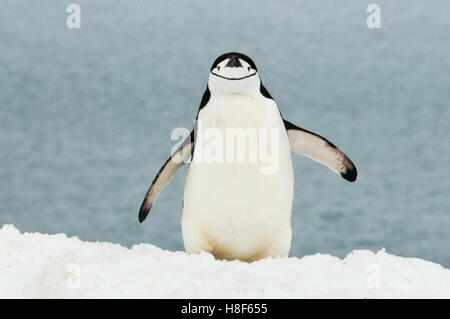 Manchot à Jugulaire (Pygoscelis antarctica), Péninsule Antarctique, l'Antarctique Banque D'Images
