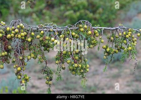 Juniperus macrocarpa, c'est le genévrier à gros fruits, de la famille des Cupressacées