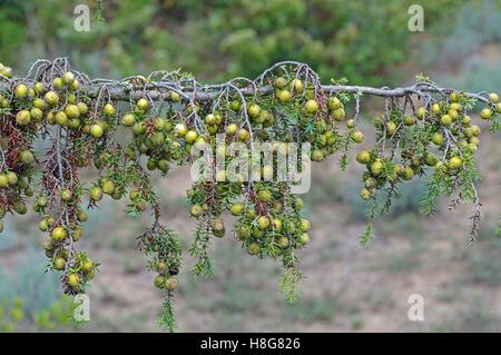 Juniperus macrocarpa, c'est le genévrier à gros fruits, une usine dans les dunes de sable
