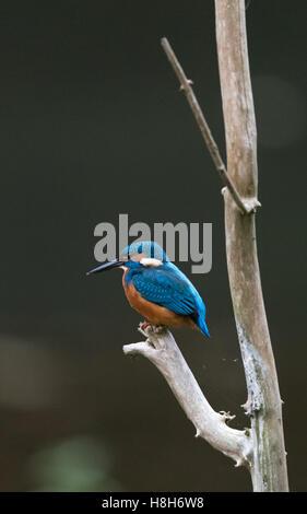 La common Kingfisher Alcedo atthis ou perché sur une branche à la recherche de poisson. Banque D'Images