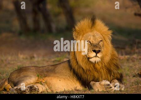 Portrait of a handsome male lion (Panthera leo) dans une lumière chaude Banque D'Images