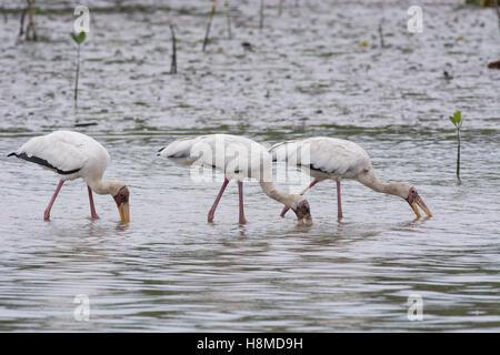 Trois Cigognes sauvages voie lactée - Mycteria cinerea - ensemble d'alimentation en eau peu profonde sur le bord Banque D'Images