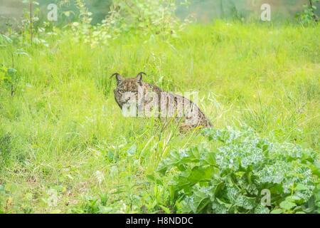 Lynx pardinus, le lynx ibérique